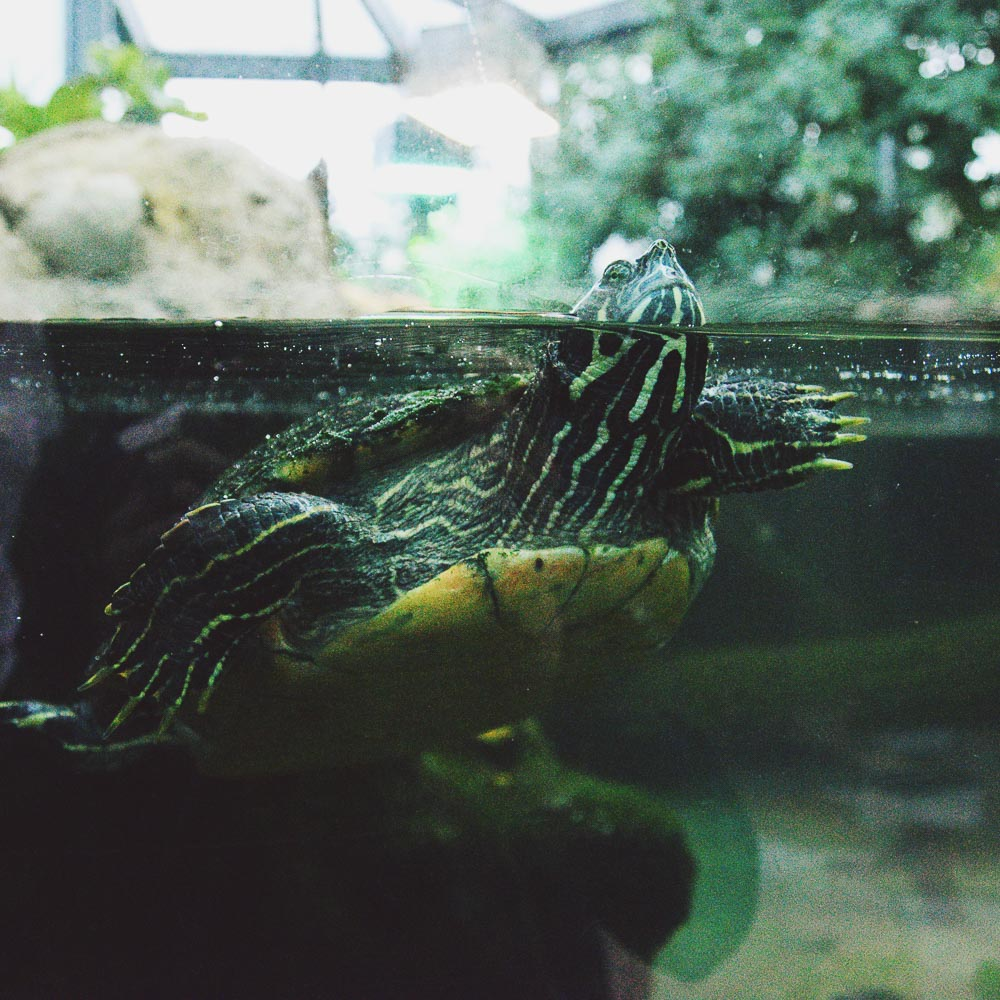 Unsere Patenschildkröte